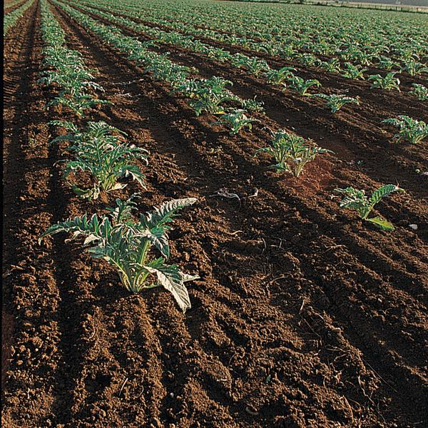 Le cardon vert, tradition de l'agriculture vaudaise !